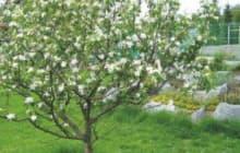 Как правильно формировать крону яблони