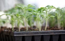 Советы огородников: как правильно вырастить рассаду томатов дома