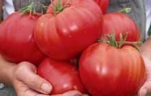 10 лучших сладких крупноплодных томатов