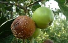 Чем опасна плодовая гниль для яблонь и как ее лечить