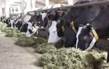 Организация привязного содержания коров на ферме