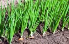 Как поливать лук в открытом грунте: правила и сроки
