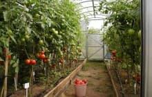 Как правильно поливать помидоры в тепличных условиях