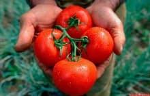 Томат сорта Агата: особенности выращивания