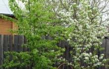 7 причин, почему не плодоносит груша