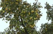 Соседи-деревья и соседи-враги для груши