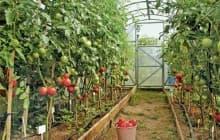 Секреты выращивания помидоров в теплицах из поликарбоната