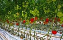 Секреты подвязки помидор в теплицах и открытом грунте