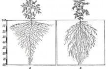 Зачем огороднику знать про корневую систему томата