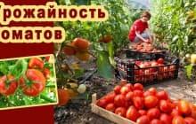Секреты выращивания томатов в открытом грунте