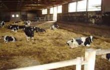 Специфика беспривязного содержания коров