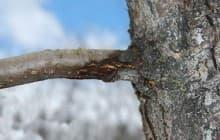 Как лечить бактериальный и чёрный рак на яблоне
