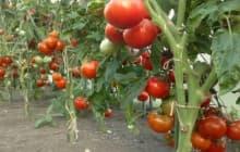 11 лучших сортов томатов голландской селекции для теплиц и открытого грунта