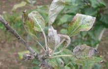 Мучнистая роса на яблоне и способы ее лечения