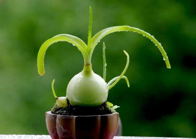 Индийский лук лечебные свойства и применение настойки