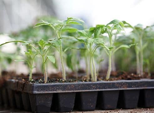 Как лучше вырастить рассаду томатов