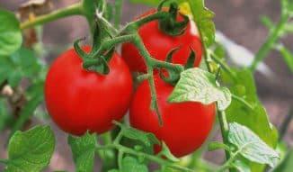 благовест томат