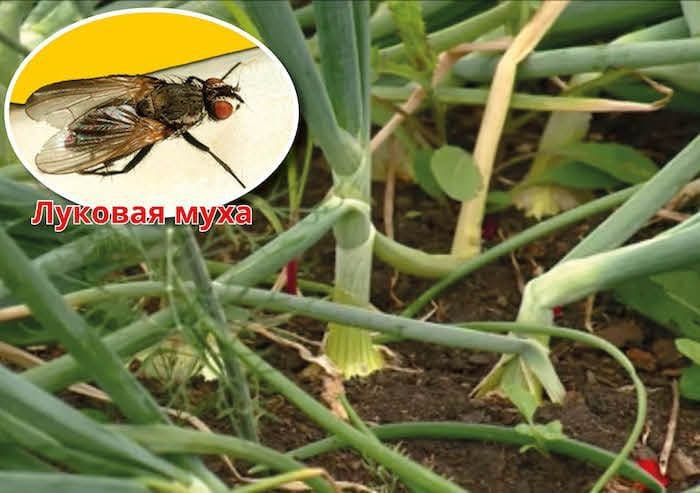 Как избавиться от луковой мухи: методы борьбы народными средствами и химией