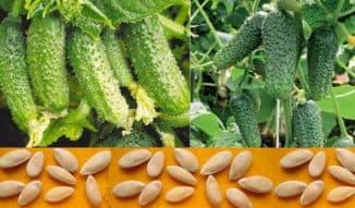 семена огурцов сибирской селекции самые урожайные