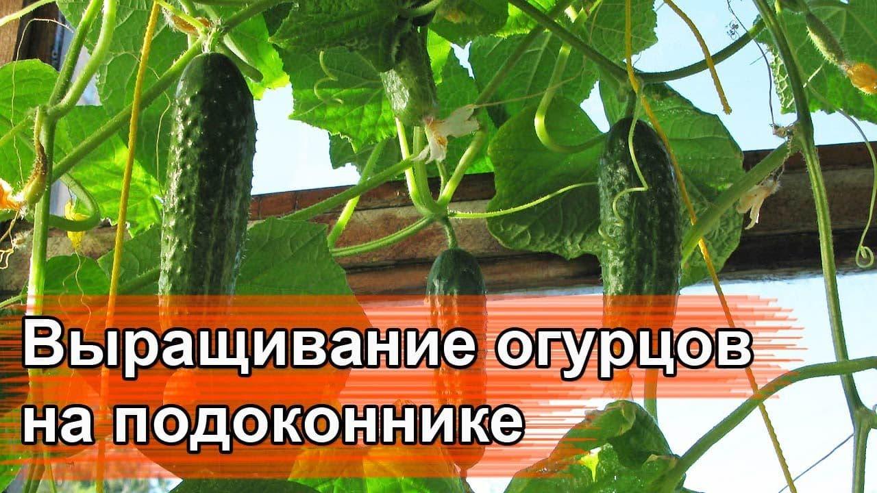 Как выращивать огурцы на окне зимой
