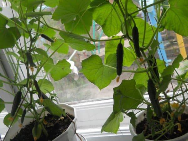 Огурцы в мешках - выращивание и уход