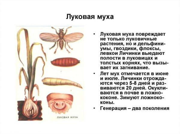 Луковая муха: как с ней бороться и как от нее избавиться, чем обрабатывать растения и землю - народные средства и препараты