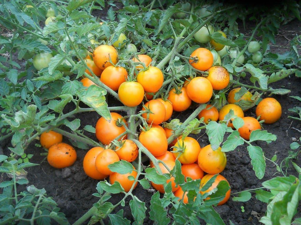 Лучшие низкорослые томаты для открытого грунта и теплицы без пасынкования