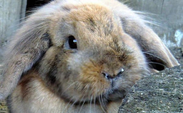 Почему кролик кричит тревожный симптом