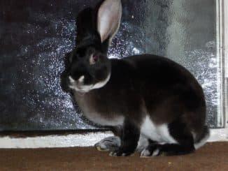 рекс кролик