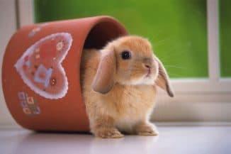 карликовый баран кролик