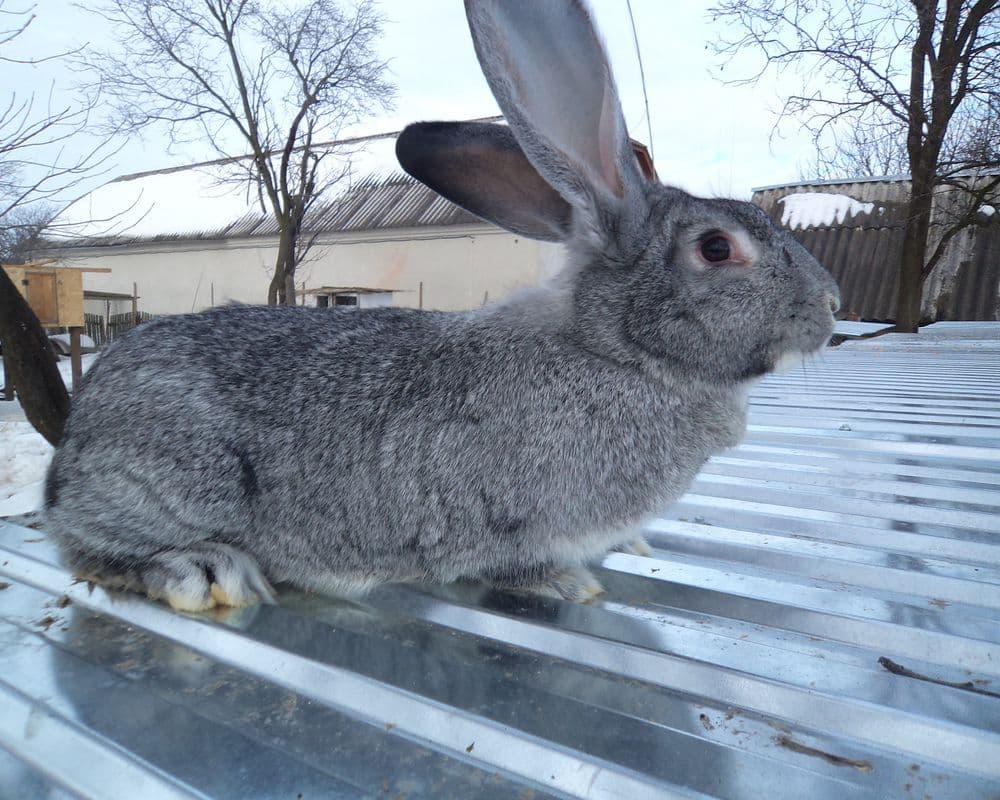 Порода кроликов серый великан характеристика