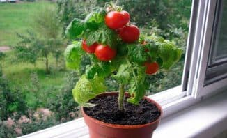 как вырастить помидоры черри на подоконнике