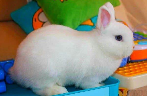 Карликовый лисий кролик — AgroXXI