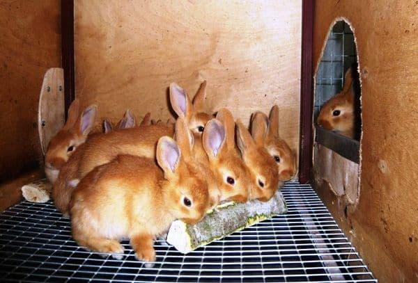 Бургундский красный кролик