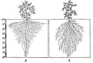 корневая система томата