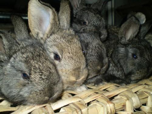 Фландер (Фландр) и породы кроликов Бельгийский Великан