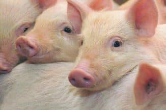 характеристика свиньи