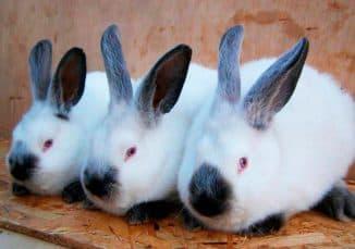 порода кроликов калифорнийская