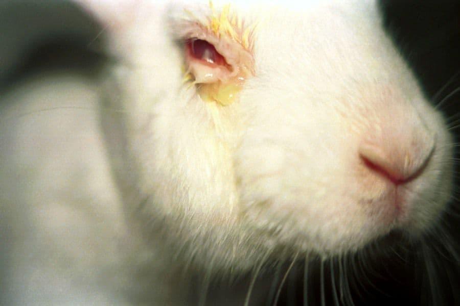 Почему у кроликов гноятся глаза?