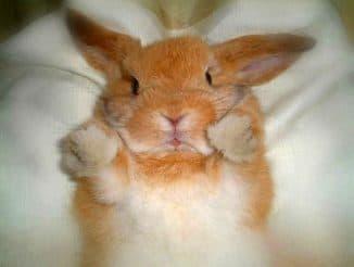красная моча у кролика