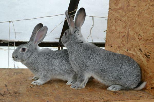 Разведение кроликов шиншилла