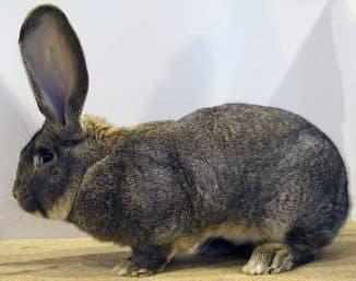 ризен кролик