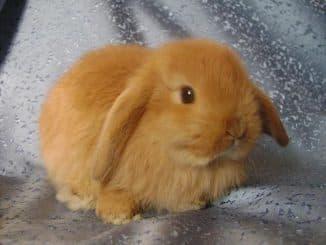 кролик вислоухий декоративный