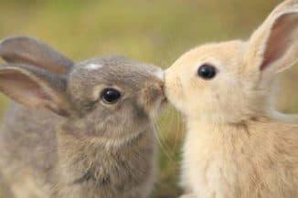 болезни половых органов кроликов