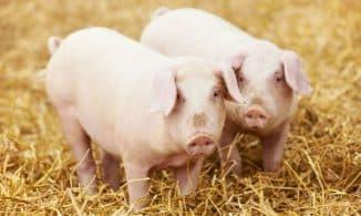 мясо сальные породы свиней