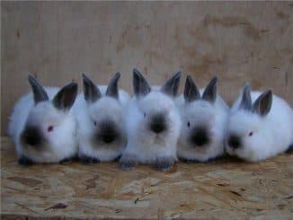 содержание калифорнийских кроликов