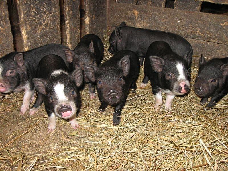 Сколько свинья ходит беременная