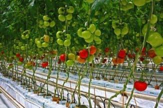 как в теплице подвязывать помидоры