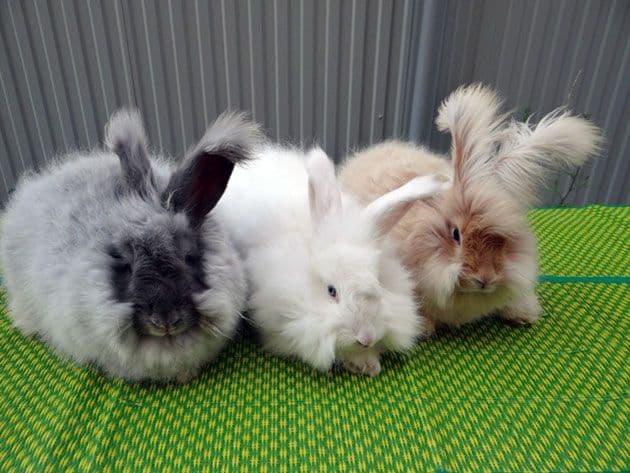 Как выглядит ангорский кролик