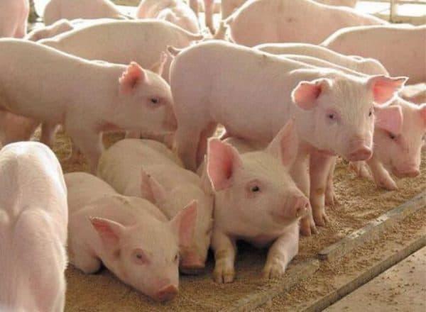 Породная классификация свиней